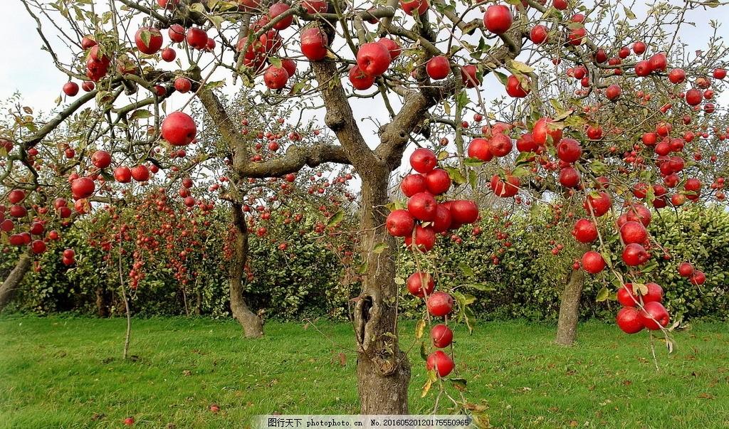 苹果 果树 草地 红苹果 苹果树 风景 美景 大自然 摄影 自然景观 自然