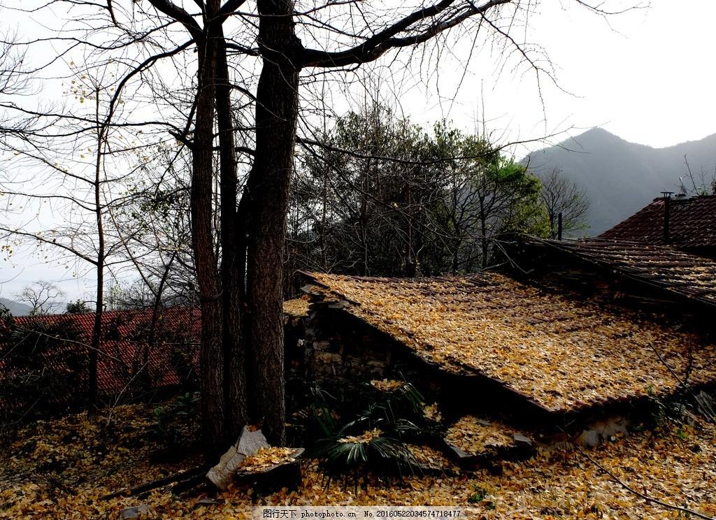 秋景 农村风景 田园风景 农家小院 银杏 山村田园风光 摄影 自然景观