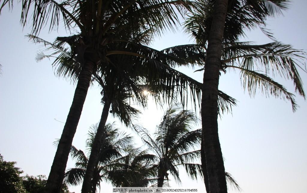 椰树 树木 蓝天 椰子 深圳 小梅沙 白云 天空 摄影 生物世界 树木树叶