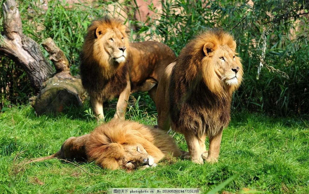 猫科动物 野生动物 哺乳动物 食肉动物 动物 风景 美景 大自然 摄影