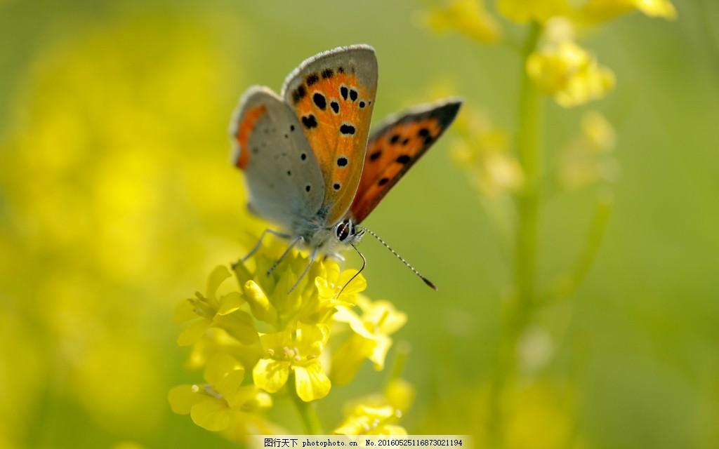唯美油菜花上蝴蝶 唯美油菜花上蝴蝶图片下载 飞禽 昆虫 小动物