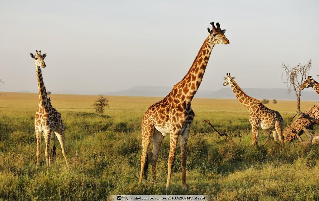稀树草原 草原动物 非洲动物 坦桑尼亚风光 非洲旅游 非洲风景 自然