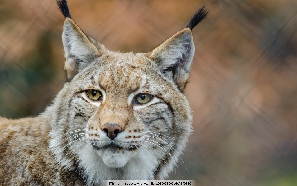 林曳 猞猁狲 马猞猁 山猫 野狸子 摄影图片 摄影 生物世界 野生动物