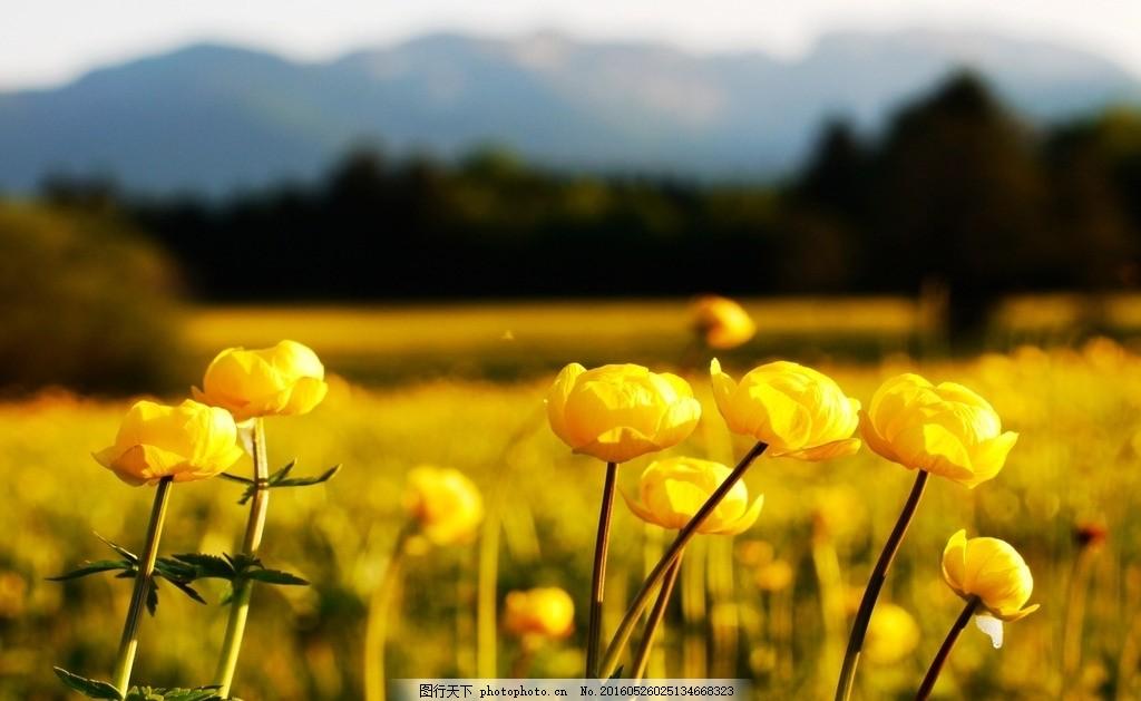 黄色花田 摄影 照片 景色 风景 自然风光 景物 花朵
