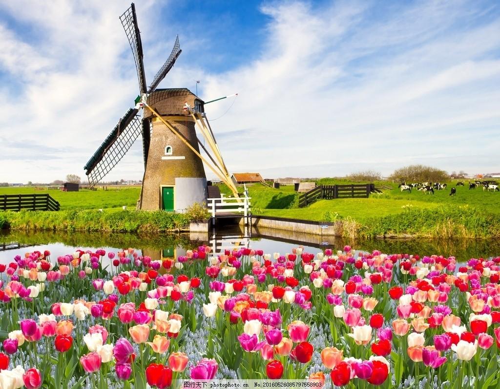 风车 荷兰风车 郁金香 奶牛 湖面 草坪 蓝天 白云 牧场 花海