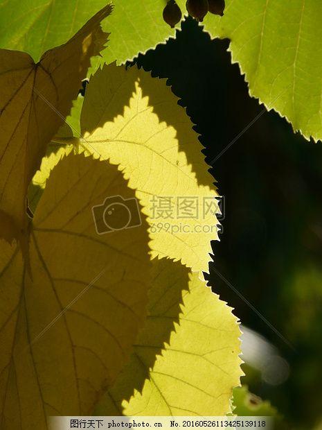 阳光下的树叶 叶子 锯齿状 边缘 智能 叶边距 林德 光阳光 红色图片