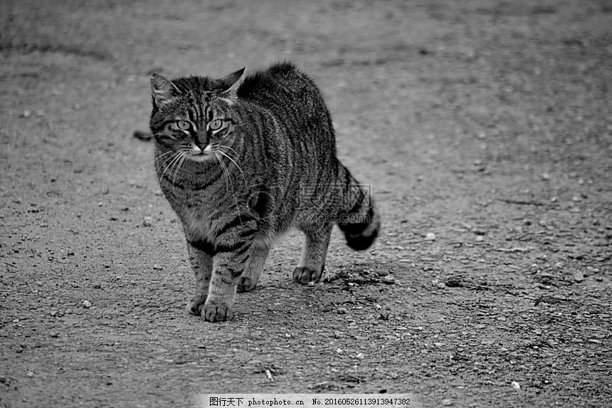 地面上行走的小猫 猫科动物 动物 动物区系 猫的眼睛 国内动物 地面