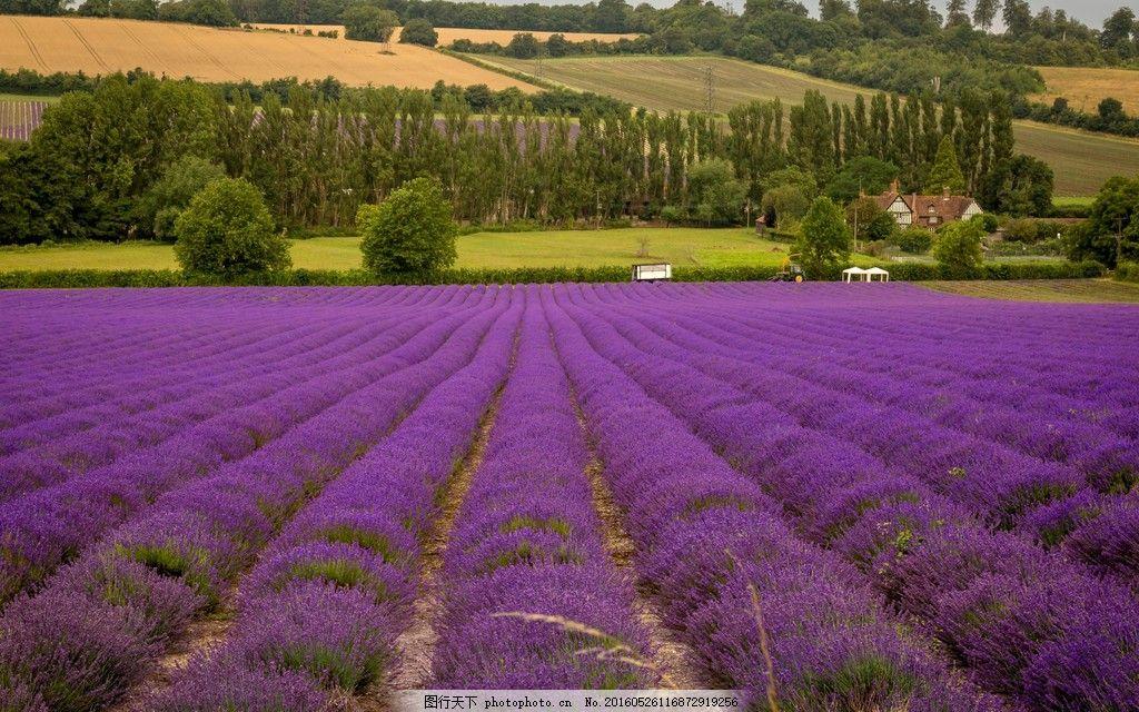 唯美薰衣草风景 唯美薰衣草风景高清图片下载 花卉 花朵 花草 植物图片