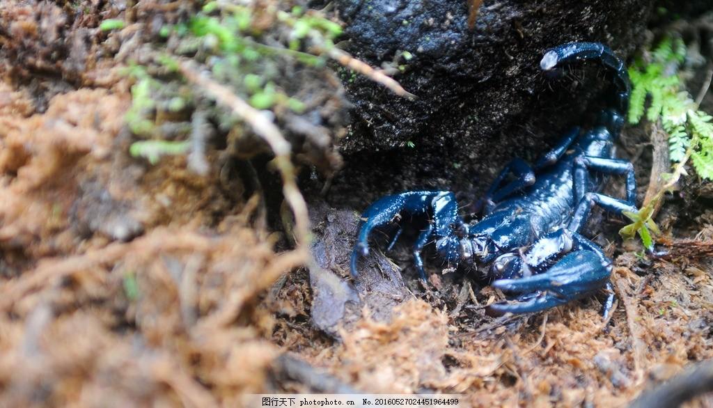 蝎子 蓝蝎子 蓝色蝎子 昆虫 动物 小动物 肉食动物 潮湿阴暗地