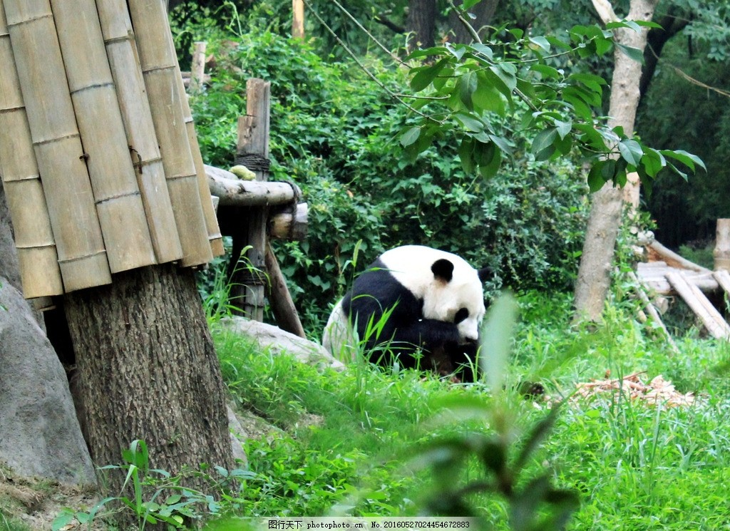 熊猫 国宝 四川 大熊猫 动物园 珍稀动物 保护动物 熊猫吃竹子 摄影