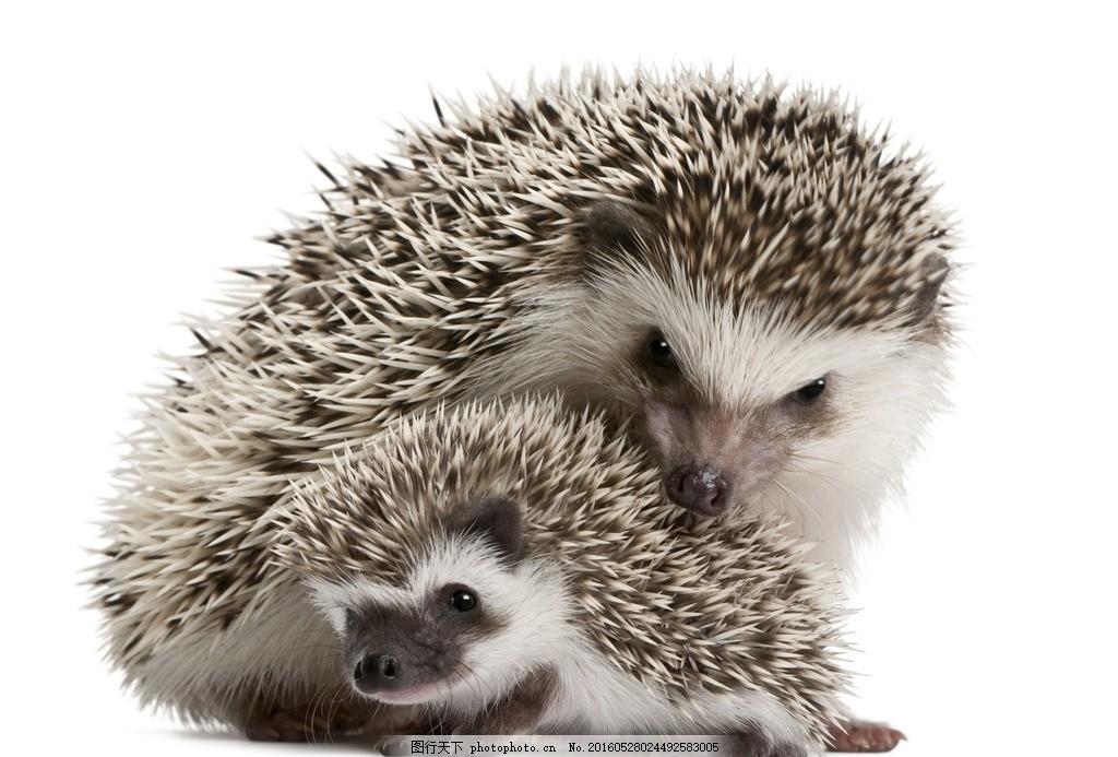 唯美 可爱 动物 生物 野生 刺猬 摄影 生物世界 野生动物 300dpi jpg