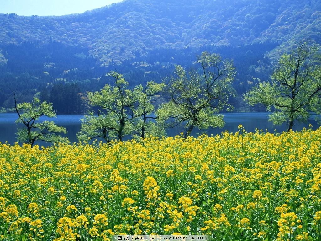 美丽的油菜花田风景图片