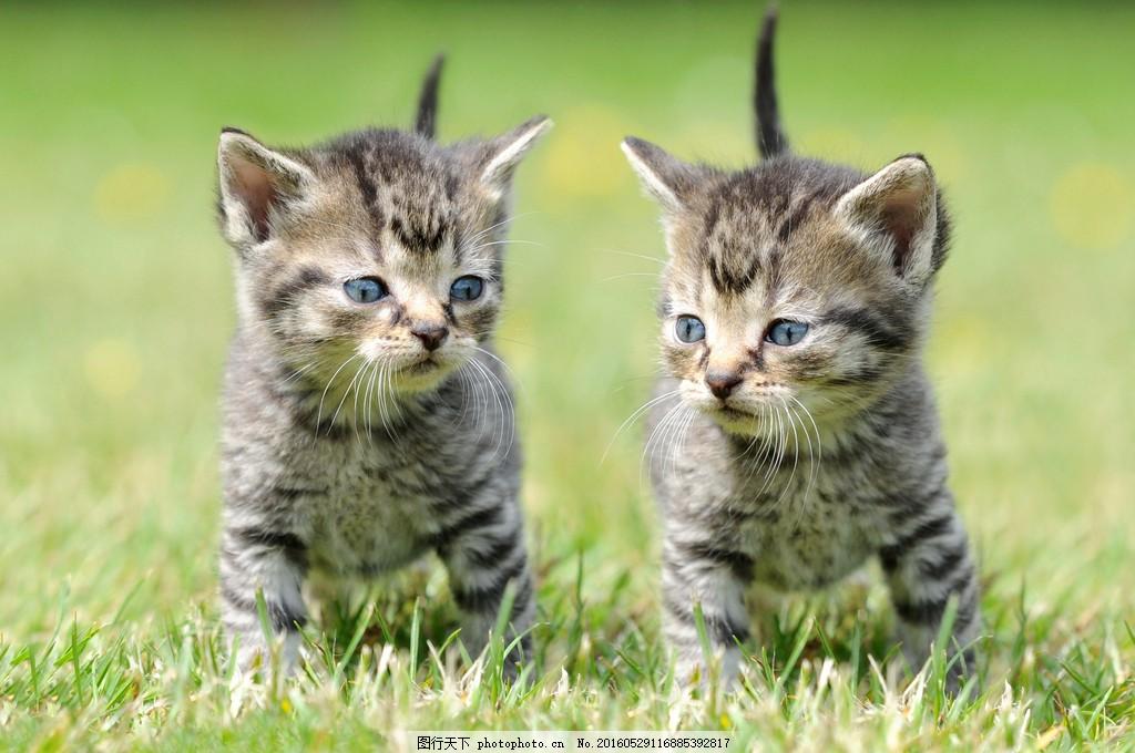 灰色茶杯猫图片素材 可爱猫 宠物 可爱动物 动物写真 高清图片