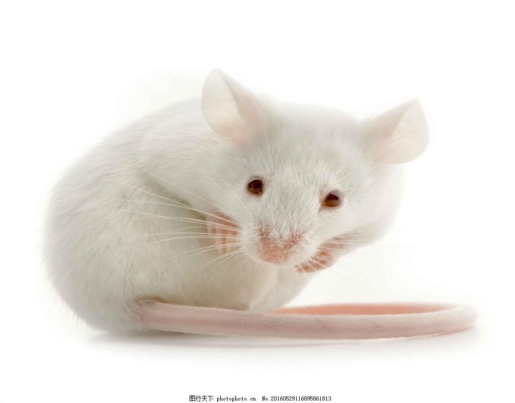 高清可爱的小老鼠空白图片_宠物图片_仓鼠图片_白老鼠