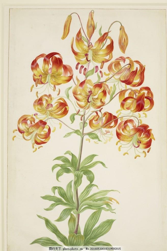 德国女画家 土耳其百合花 静物花卉 红黄相接 古典水彩画 水彩画 设计