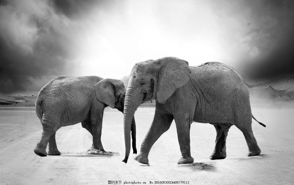 大象 野象 象 黑白 荒地 摄影图片 摄影 生物世界 野生动物 72dpi jpg图片