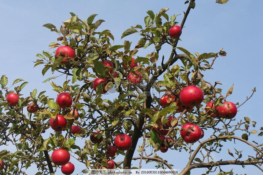 树上的红苹果 苹果树 叶子 树木 绿叶 蓝天 红色图片