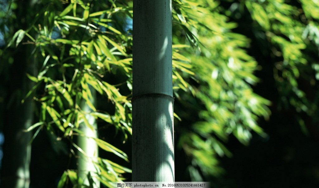 竹子 竹 叶 竹叶 幽静 绿色 风景 自然 摄影 生物世界 树木树叶 350dp