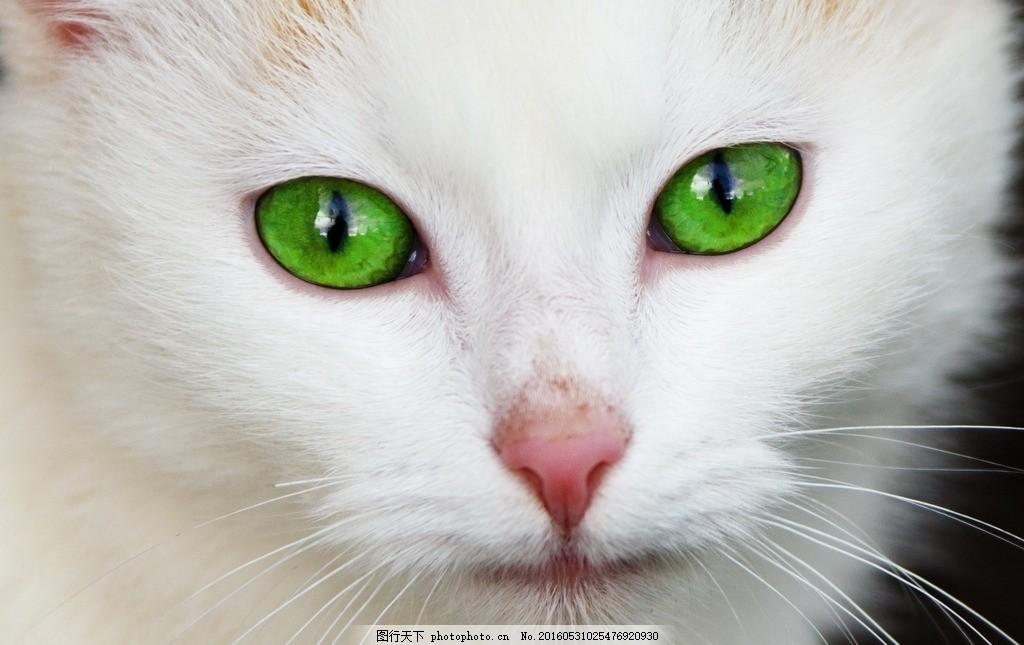 白色猫咪 白色 猫咪 眼睛 壁纸 动物 超清 动物 摄影 生物世界 其他