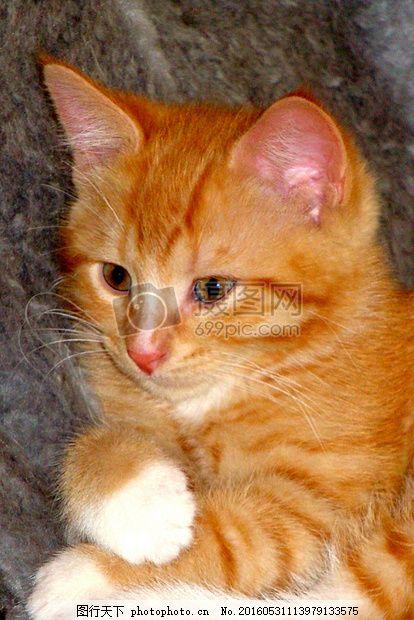 可爱的小猫咪 红色小猫 国内动物 附加眼睛 爪子 耳朵 可爱 萌