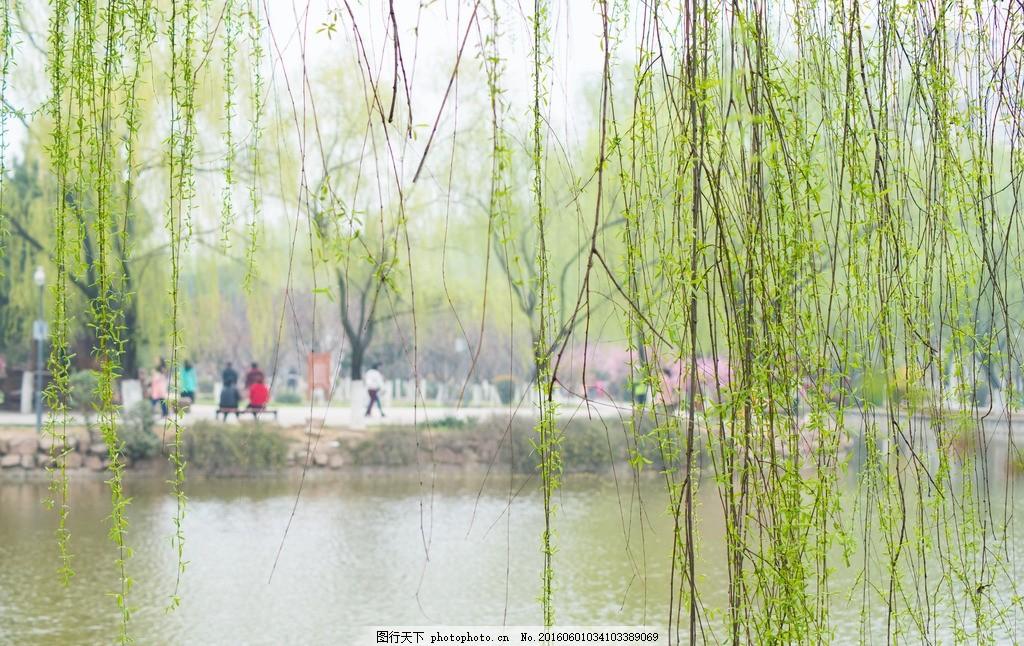 柳枝 柳条 春天 春天来了 杨柳依依 早春景色 花草摄影 摄影 自然景观