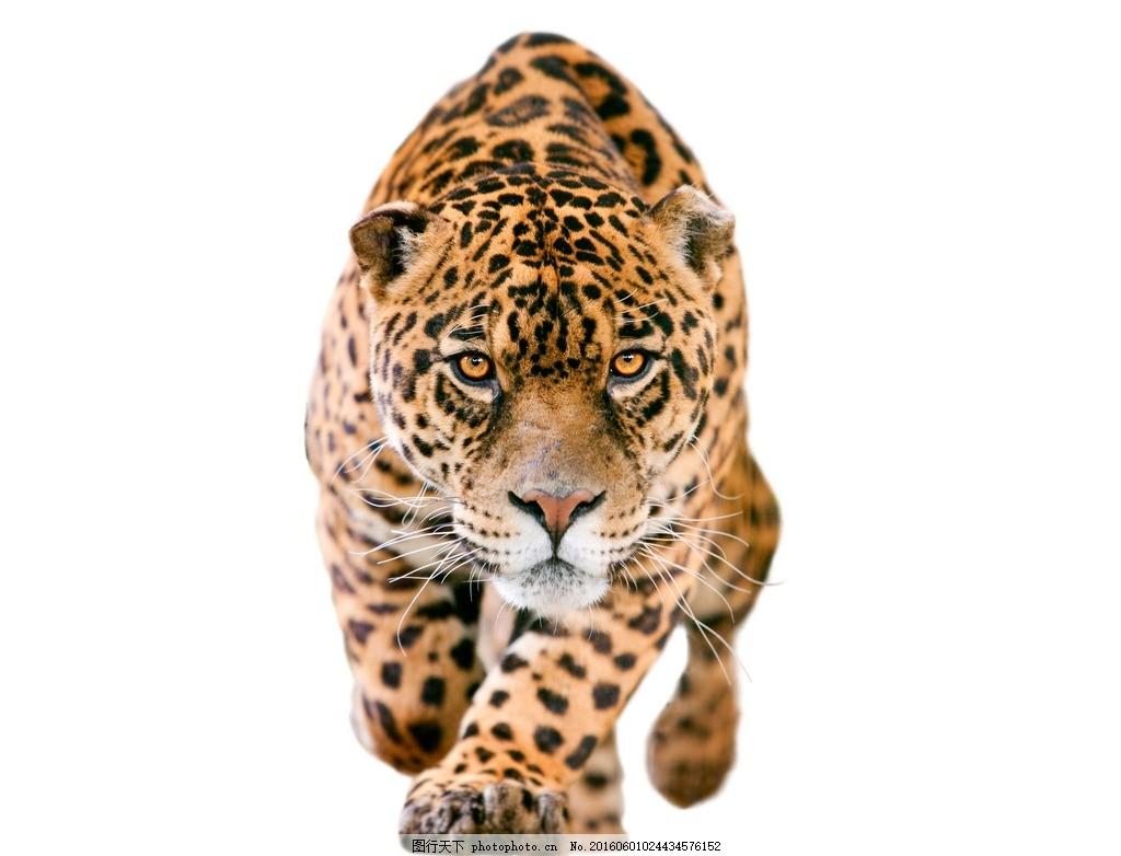 豹子 凶猛 动物 猛兽 猎豹 威严的豹子 豹子正面摄影 马