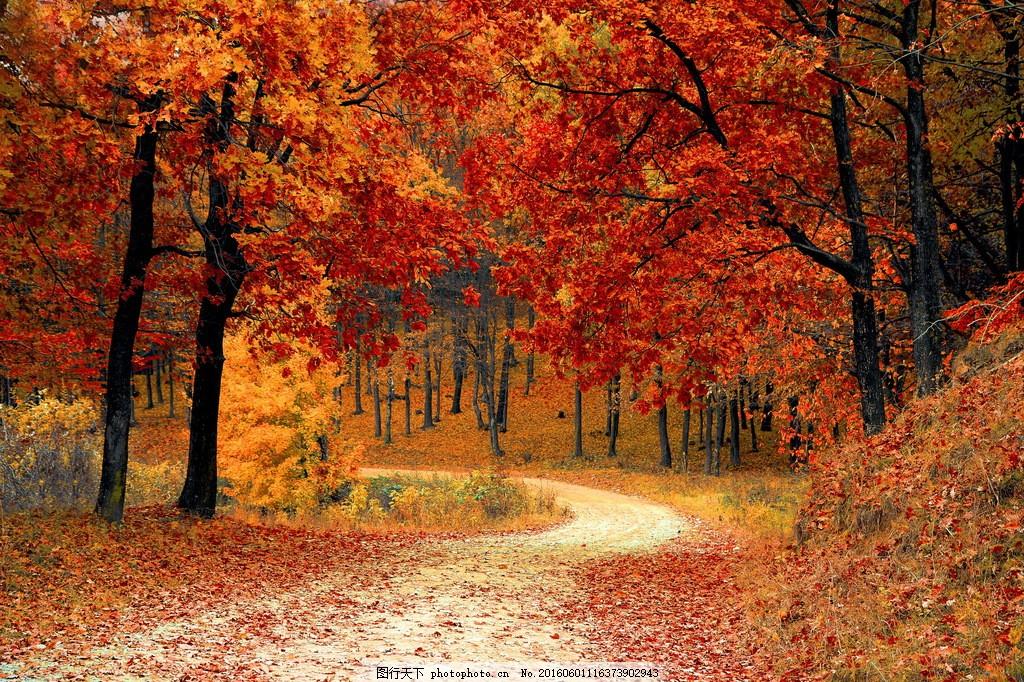 枫树林图片秋天枫树林图片素材下载 枫树 枫树林 树林 红枫叶 红叶