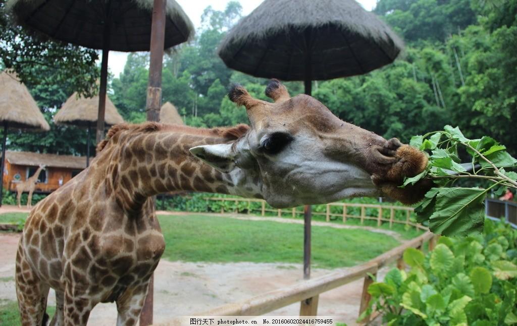 长颈鹿 野生动物园 长隆 广州 树木 广州长隆 摄影