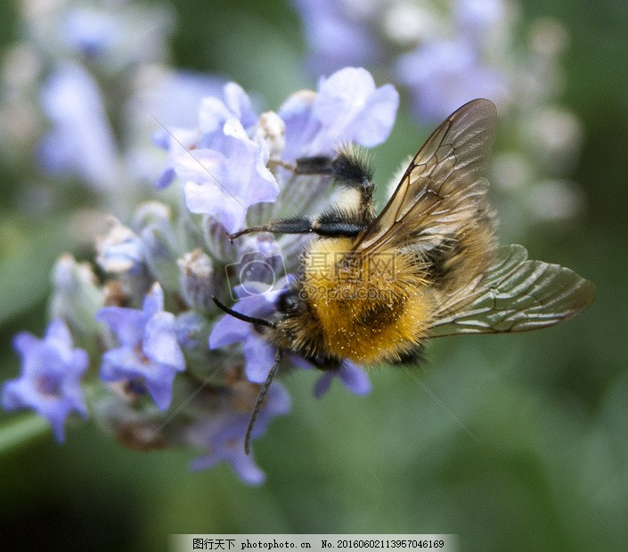 花卉上的小蜜蜂 蜜蜂 花卉 熏衣草 植物 动物 昆虫     红色 jpg