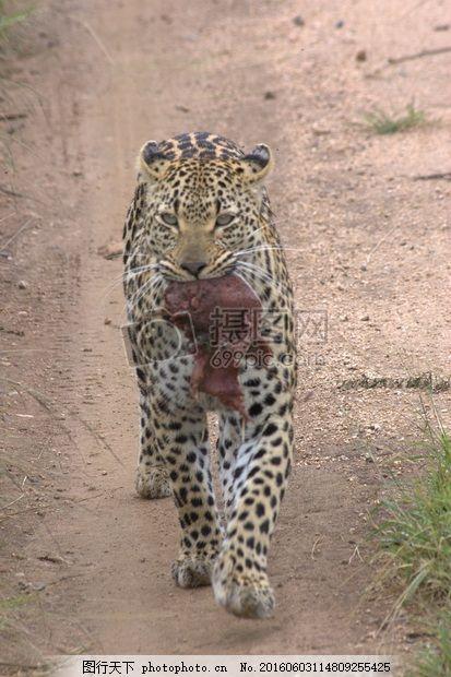 singita豹 非洲 南 野生动物园 克鲁格 国家 公园 红色