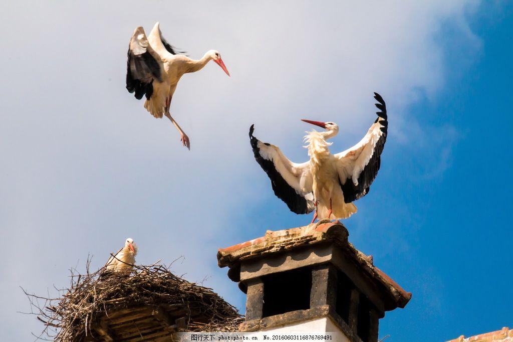 高清白鹤的 高清白鹤的图片素材下载 白鹳 欧洲白鹳 鸟巢 德国国鸟