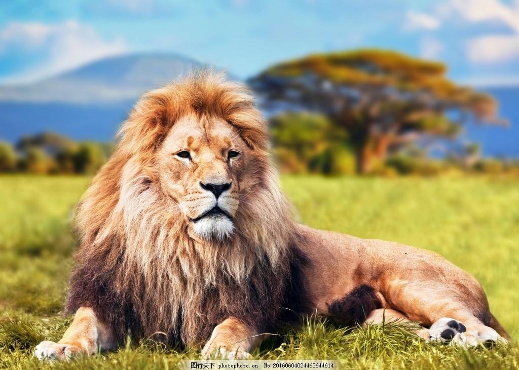 狮子 大狮子 雄狮 卧狮 草地上的狮子 趴着的狮子 马 动物 摄影