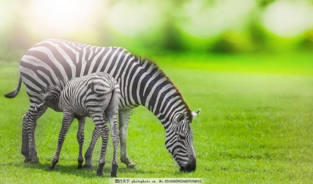 草原 斑马群 斑马 摄影 生物 动物 草地 马 动物 摄影 生物世界 野生