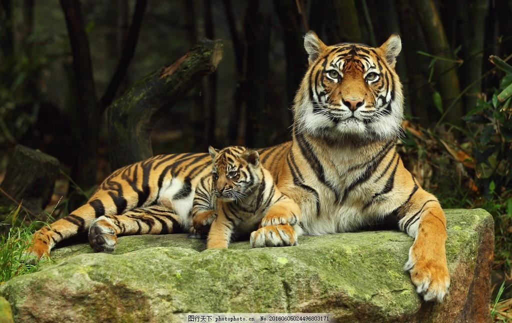 老虎 凶猛 动物 猛兽 东北虎 华南虎 卧虎 猛虎 野兽 猫科动物