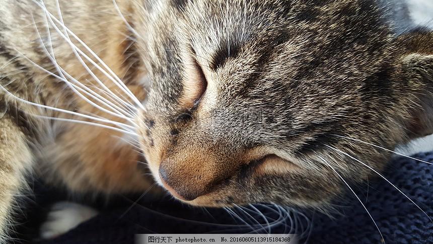 睡着的小猫咪 猫 猫咪 宠物 猫脸 睡眠 动物 晶须     红色 jpg