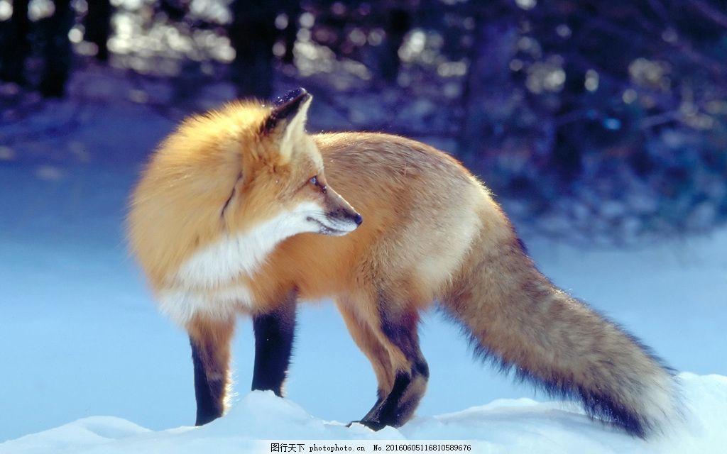 狐狸 野生动物 保护动物 动物写真 雪地动物 高清图片 图片下载