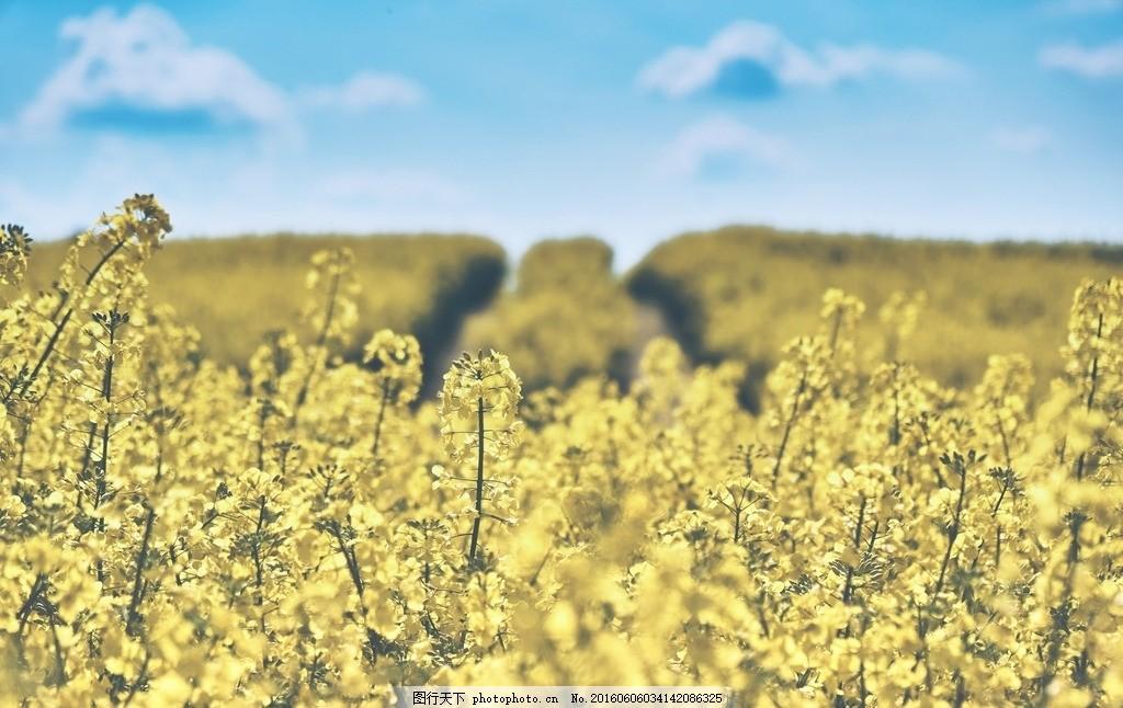 油菜花 油菜籽 蓝天 农业 作物 种植 夏天 风景 唯美 黄色 植物 摄影