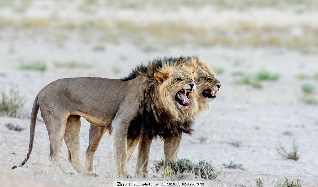 狮子 动物园 非洲大草原 动物世界 阳光 摄影 雄狮 猫科动物