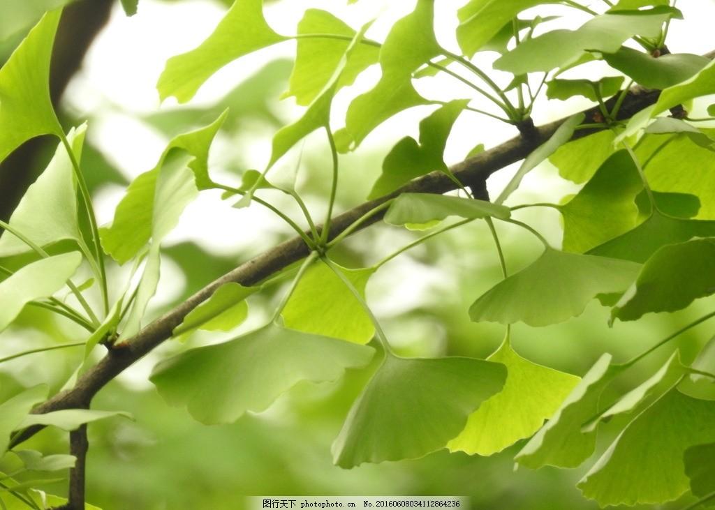 银杏 树叶 绿色植物 银杏叶 摄影