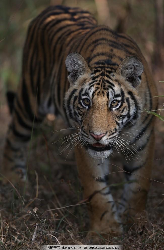 孟加拉虎 唯美 猛兽 炫酷 动物 老虎 老虎照片 老虎头 老虎彩色