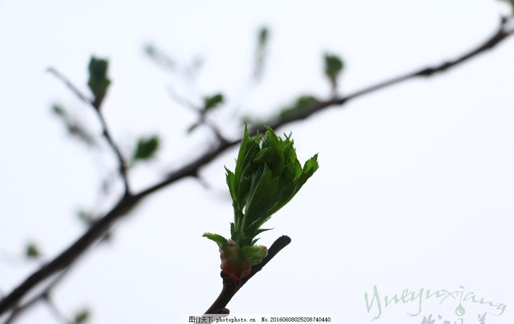 初春新芽 树枝 发芽 新叶 摄影