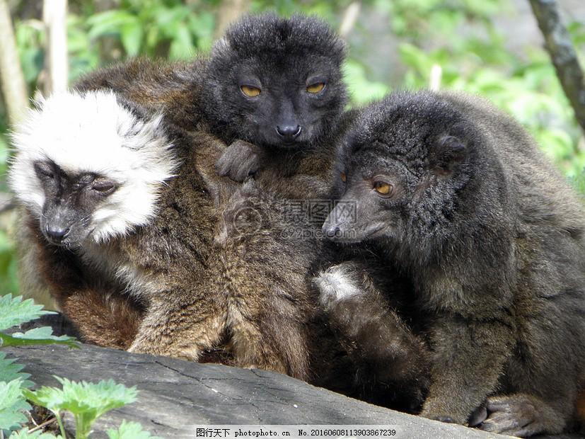 黑狐猴 野生动物 哺乳动物 马达加斯加 动物园 红色