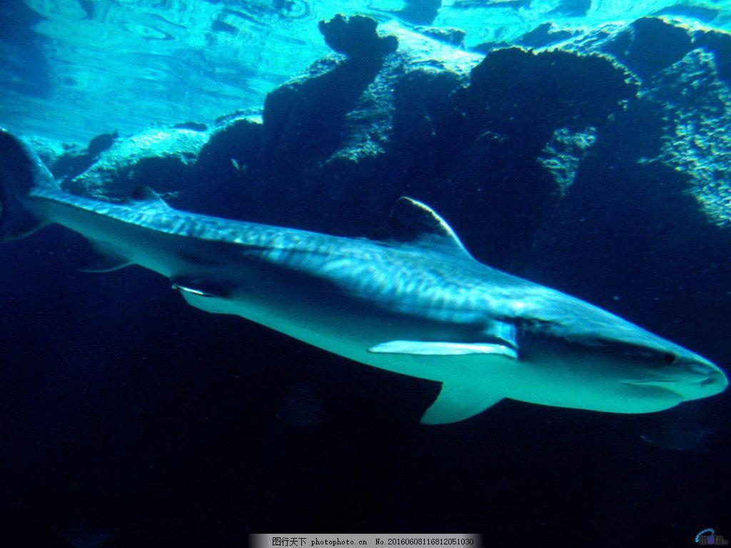 海里大鲨鱼图片