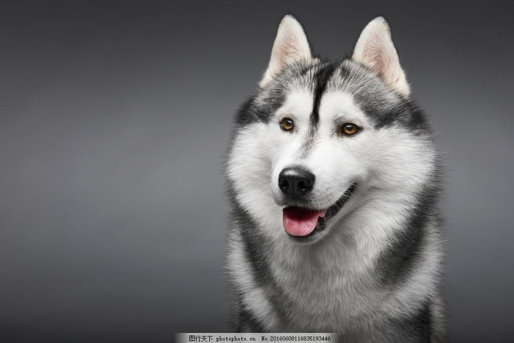 哈士奇高清图片素材,动物 狗 可爱的 快乐 二哈-图行