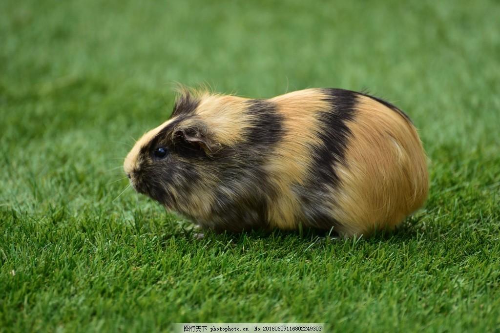 野生动物豚鼠
