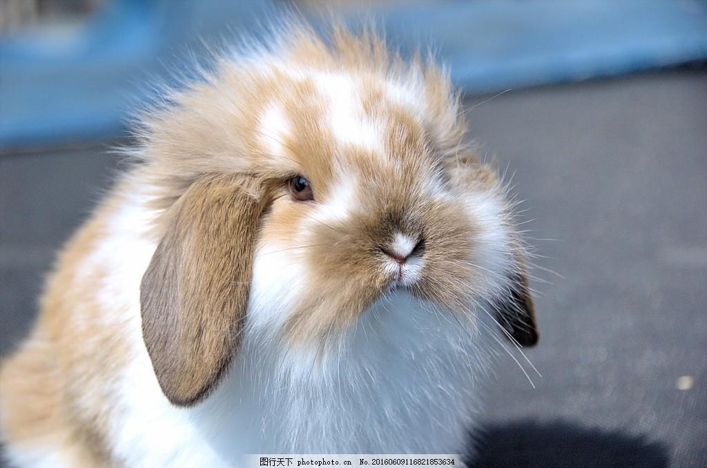 英国垂耳兔 英国垂耳兔图片英国垂耳兔图片素材下载 杂色兔子 可爱