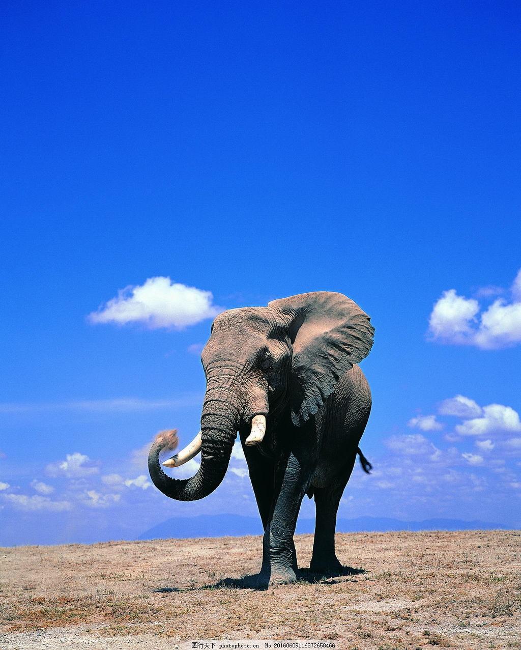 非洲大象 非洲象 野生大象 动物