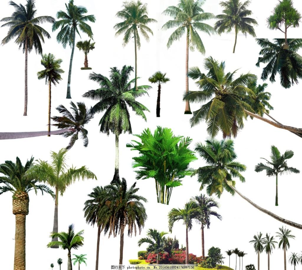 椰子树 椰树
