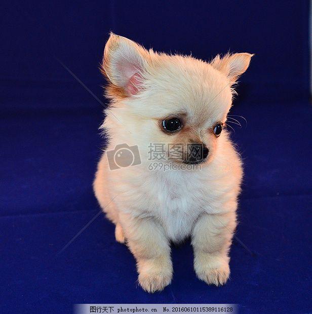 可爱白色的小狗 动物 宠物 蓝色 毛绒绒 萌萌的 红色