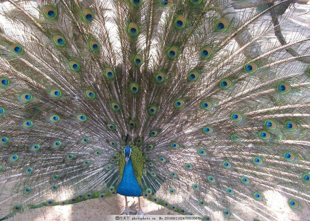 蓝孔雀开屏 飞禽 动物 动物世界 动物园 动物摄影 孔雀羽毛 羽毛
